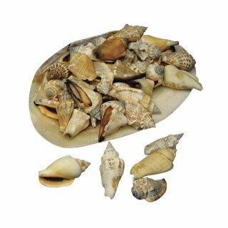 Spitzmuscheln, in Natur-Perlmuttschale